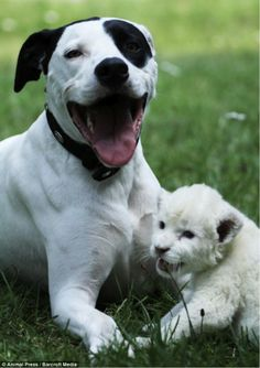 A male pit bull mix dog called Lejon, has shocked owners and zoo staff by becoming a stepfather to a highly endangered white lion cub called Jojo.