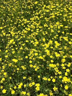 """""""Golden yellow of the Buttercups brighten up the pastures and fields along the backroads of Alabama.""""  I always want to stop and take pictures of roadside flowers :)"""