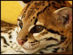 Ocelot by on DeviantArt Ocelot, Amazon Rainforest, Fox, Kitty, Deviantart, The Originals, Animals, Leopard Cat, Little Kitty