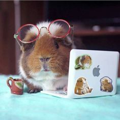 Fuzzberta the Guinea pig Hamsters As Pets, Cute Hamsters, Rodents, Animals And Pets, Baby Animals, Guinea Pig Costumes, Pig Pics, Guniea Pig, Baby Guinea Pigs