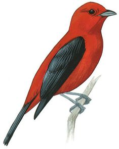 Scarlet Tanager -  Piranga olivacea. Birds of North America Field Guide | Audubon