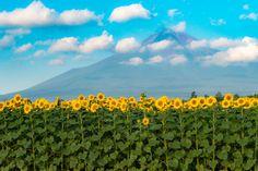 2016 Summer Fuji by shinichiro 山中湖 花の都公園 http://flic.kr/p/K53e9s