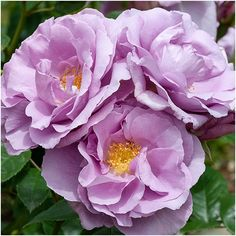 Floribunda - Exclusive to Matthews - Amazing abundance of lilac flowers, opening to revea Free Gift Cards, Free Gifts, Lilac Flowers, Forget Me Not, Shades Of Blue, Special Occasion, Delicate, Bloom, Nursery