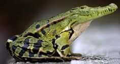 Alligator Vs Frog The Most Weird And Scary Photoshopped Hybrid Animals You'll… Happy Animals, Funny Animals, Cute Animals, Fantasy Creatures, Mythical Creatures, Photoshopped Animals, Animal Mashups, Funny Photoshop, Adobe Photoshop