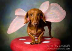 the extremely rare butterfly dachshund...