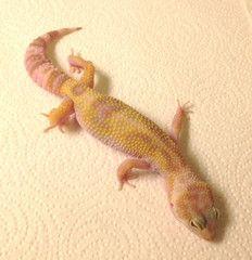 Adult geckos leopard