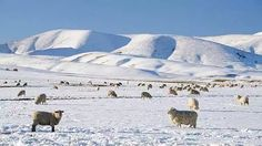 Merinos in the Snow Covered Mountains