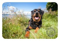 Brutis - June 21 - Rottweiler in West Seattle