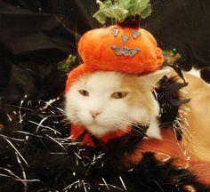 Halloween Pumpkin Pussycat