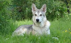 -Saarloos Wolfhound - Domestic Dog Breeds Reference Library - redOrbit