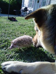 ★♥★ : my dear friend, Do not touch me with your thorns - The cross-species - unexpected resulting in some surprising ★♥★ Cute Hedgehog, Mans Best Friend, Dear Friend, Wildlife Nature, Cute Little Animals, Ellen Degeneres, Cute Photos, Four Legged, Friends Forever