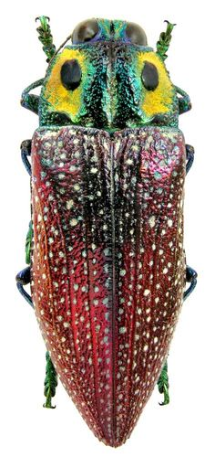 Beautiful beetles, click me ; ) Madecassia rothschildi (Gahan, 1893)