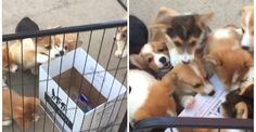 Can You Guess How Many Corgi Puppies Can Fit In A Wine Box?