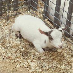 Baby goat #eriecountyfair #goat