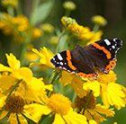 Buy sneezeweed Helenium autumnale 'Sombero (Mariachi Series) (PBR)': Delivery by Crocus