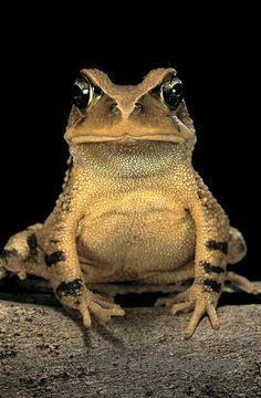 Bufo calamita (rushes toad)