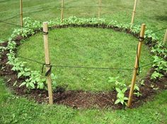 Plant sunflowers in a circle, making sure there's a gap to get through. Once the plants get big, it makes a great play house for kids and then when the seeds have all dried up, a great source of food for your garden birds #homesfornature
