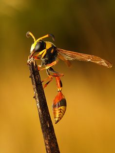 Potter Wasp!  Call A1 Bee Specialists in Bloomfield Hills, MI today at (248) 467-4849 to schedule an appointment if you've got a stinging insect problem around your house or place of business!