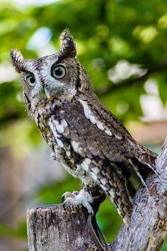 Eastern Screech Owl at the Schlitz Audubon center.