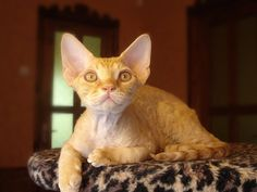 Devon Rex:   The Devon Rex cat breed is a small to medium sized cat that can weigh between 6-9 pounds, with the females being smaller than the males. They are well-muscled and athletic looking cats. The hind legs are longer than the forelegs. The ears and eyes are large and the head is wedge shaped, giving the cat a pixie look.