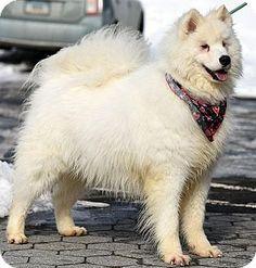2/18/15 New Haven, CT - Samoyed. Meet SAMPSON a Dog for Adoption. adoptapet.com ID 407