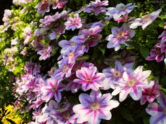 178649_kwity_rozowy_clematis.jpg (2048×1536)
