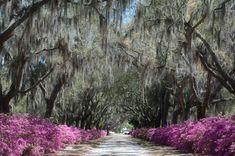 Savannah with its Live Oaks, Spanish moss and azaleas