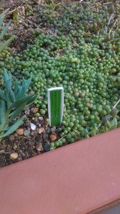 Senecio Celery, How To Dry Basil, Herbs, Vegetables, Herb, Vegetable Recipes, Veggies, Medicinal Plants