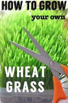 How to Grow Your Own Wheat Grass. Make wheat grass shots in your own home. It's cheap, extremely nutritious, and can be grown in an apartment. Step-by-step instructions with photos! Oh yeah, and it's #gf #glutenfree!