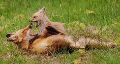 Squeeeeeeeeeee*. Image credit: John Harrison, via Wikimedia Commons.    Read more at http://www.iflscience.com/plants-and-animals/best-dads-animal-kingdom#rmiQYrcC4uGXB6bs.99