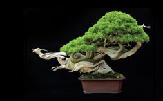 800 year old bonsai named Flying Dragon