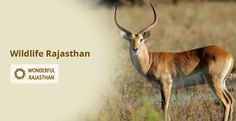 Having chosen your travel bundle, you can decide on what is more delectable to you – whether it is the glint of colours reflecting through the wings when rare birds are taking off their passion induced flights or it is the spark of savagery surrounding you with a strangely robust scent of the bigger beasts. #WildlifeRajasthan #WonderfulRajasthan