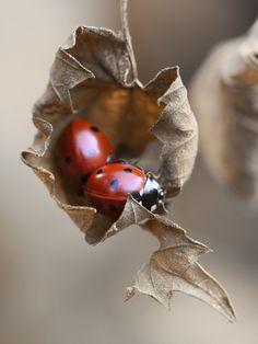 Nacelle pour coccinelles amoureuses.    / Ladybirds.