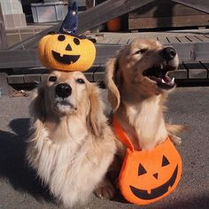 WEBSTA @ hacth427 - Happy Halloween 🎃🐶🐶4年前の写真でこんばんはNicoさんの仮装なし本気の👻.#halloween #ハロウィン#カメラ嫌い同好会 #犬の生活が第一 #癒しわんこ#dachshund #ダックス #犬バカ部 #短足部 #ふわもこ部 #tokyocameraclub #東京カメラ部