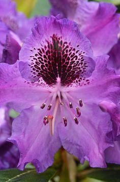 Purple rhododendron flower