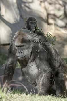 Vila at the Safari Park may be 1 of the world's oldest known gorillas & a matriarch of 5 generations, but she still gives a mean piggyback ride. Happy 55th Birthday Vila!