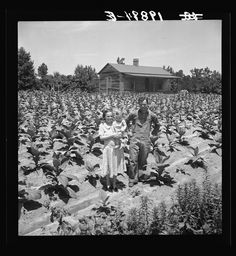 Sharecropper with wife and child in their tobacco field. Note that the tobacco grows up to the front porch. Near Chapel Hill, North Carolina; Lange, Dorothea, photographer, July 1939  Farm Security Administration/Office of War Information Black-and-White Negatives, Library of Congress Prints and Photographs Division Washington