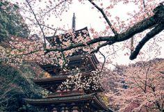 sakura-Japan-