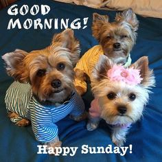 ⋆ It's a Yorkie Life Morning Pictures, Good Morning Images, Small Dog Breeds, Small Dogs, Silky Terrier, Terrier Breeds, Companion Dog, Good Morning Friends, Gif Animé
