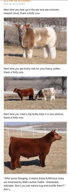 Fluffy cows.  I love it!  Quick note though: the milk in your coffee isn't coming from a cow like this.
