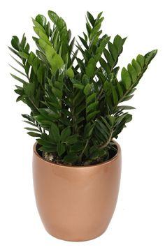 zimmerpflanzen dunkle räume zamioculcas zamiifolia glücksfeder