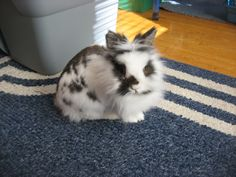 "This is 1 of the lion head bunnies, Bella :).  Her bunny slave is my ""pin pal"" - Vegan Dude Steve."