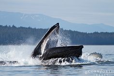 Humpback Whales Bubble Feeding  in Chatham Strait, Alaska, USA