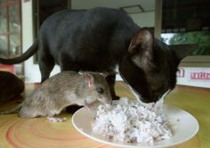 Auan, a seven-year-old female cat, shares a meal with Jeena, a three-year-old male mouse at a farmer's house in the central province of Phichit, 450 km (281 miles) north of Bangkok on August 7, 2002.