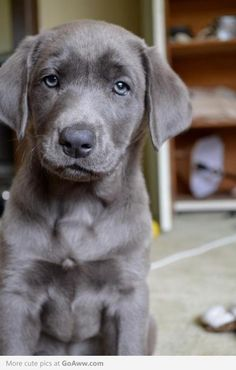 saving this because it makes me smile...such a beautiful puppy!!  silver lab puppy