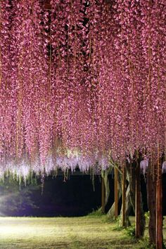 Pink Wisteria Japan - photography by Misaki Fukuyama Wisteria Japan, Beautiful World, Beautiful Places, Image Nature, Okayama, Flowering Trees, Amazing Nature, Wonders Of The World, Mother Nature