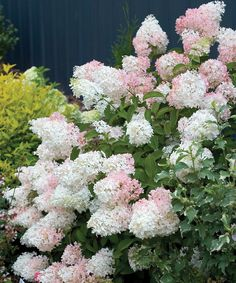 The flowers of semi-dwarf 'Little Lamb hydrangea open pure white and age to soft pink for a lacy, elegant effect.