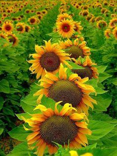 ...sunflowers