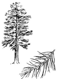 pine tree tattoo sketch. Waannnnnnt!