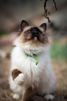 The Himalayan, is a breed or sub-breed of long-haired cat identical in type to the Persian, with the exception of its blue eyes and its point coloration, which were derived from crossing the Persian with the Siamese.